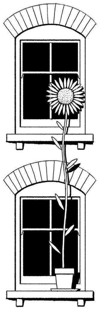 Sunflower and windows